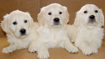 Three Retriever Puppys