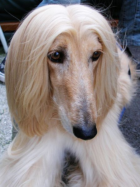 Find A Great Afghan Hound NamePlus Breed Information.