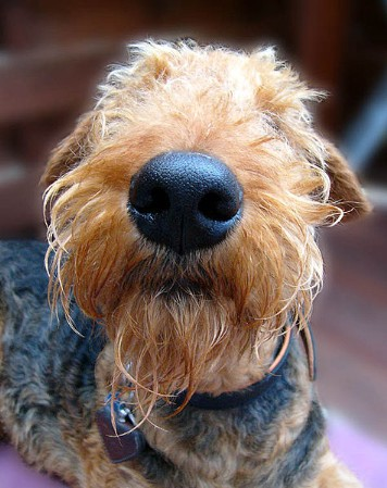 Airedale Puppies on Find A Great Airedale Terrier Name Plus Breed Information
