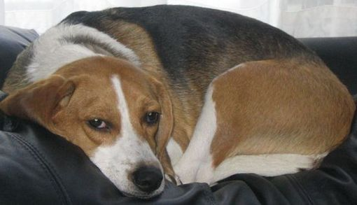 Curled up and comfortable Beagle