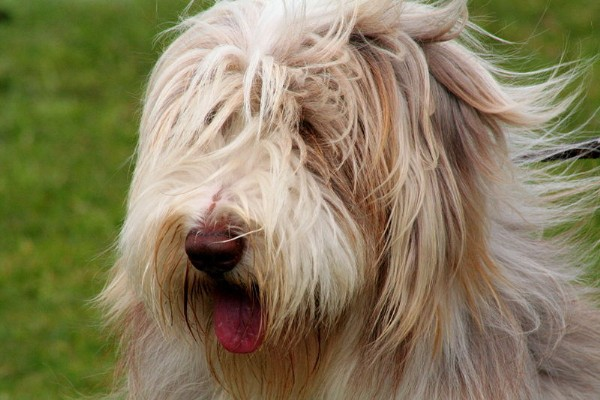 Find A Great Bearded Collie Name Plus Breed Information