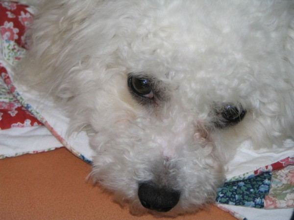 Bichon Frise puppy.
