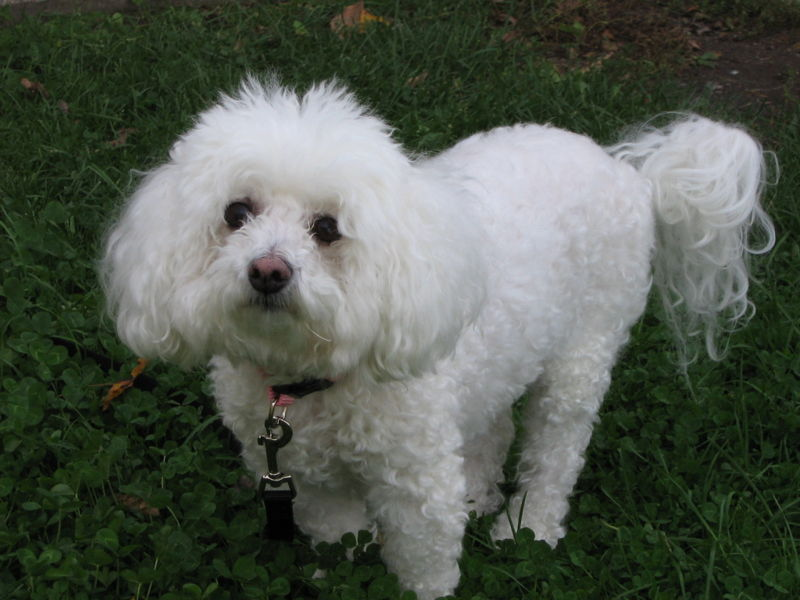 Find A Great Bichon Frise Name Plus Breed Information