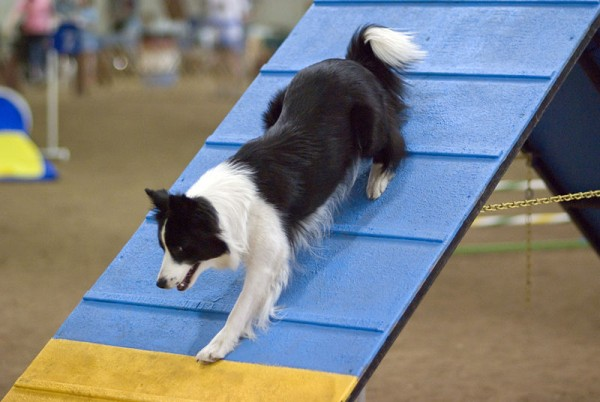 Border Collie on an agility course.