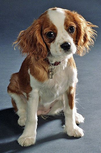 Beautiful Cavalier King Charles Spaniel Puppy