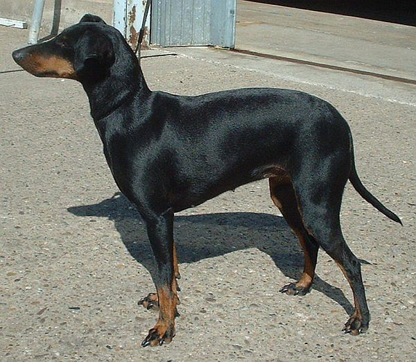 A very alert Manchester Terrier 