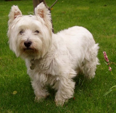 Loyal and brave West Highland White Terrier