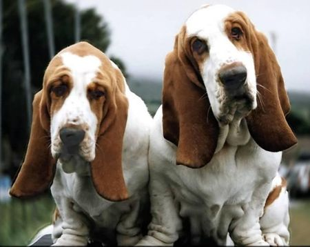 Basset Hound Dogs Puppies