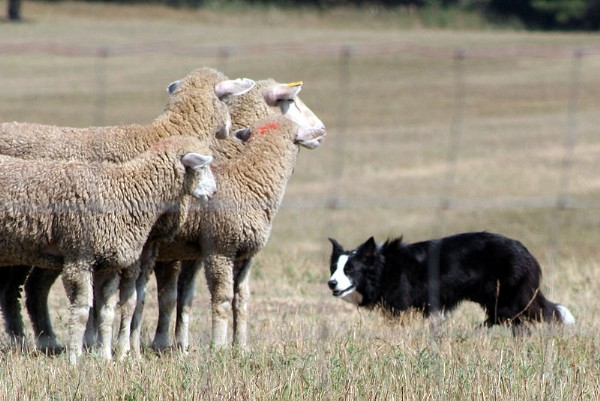 Border Collie in control of sheep.