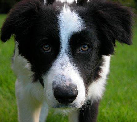 Border Collie trying to Find a Vet!