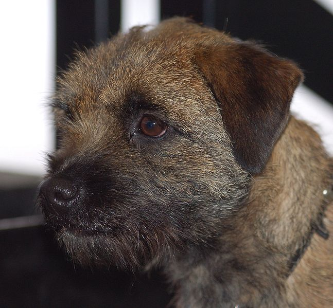 Portrait of a  beautiful Border Terrier