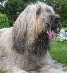 Beautiful Briard