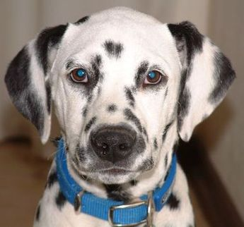 Find A Great Dalmatian Name Meanings Pics Amp Breed Info