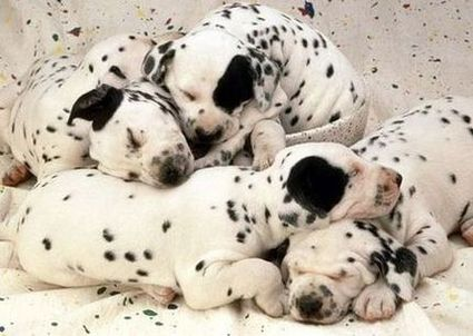 Dalmatian Puppies on Sleeping Dalmatian Puppies