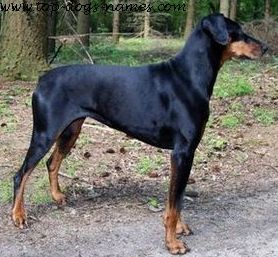 Find A Great Doberman Name + Meanings, Pics & Breed Info