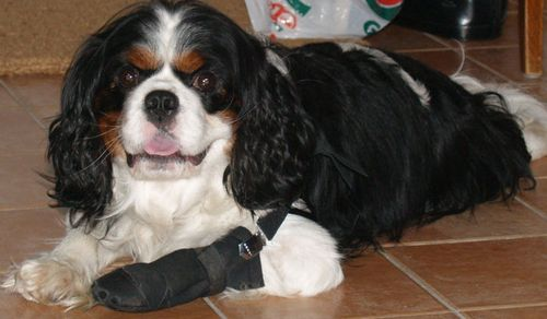 Dog with bandaged foot--Victim of Dog First Aid!