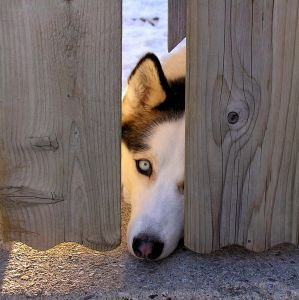 Healthy dog --Watching You!