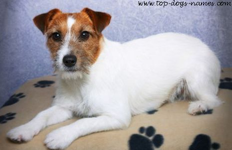 Jack Russell Terrier. These dogs weigh around 13 to 17 pounds and stand 10