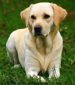 Are Labradors Good Apartment Dogs