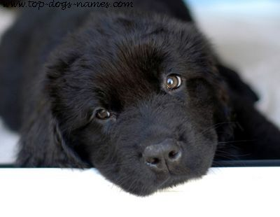 Newfoundland puppy