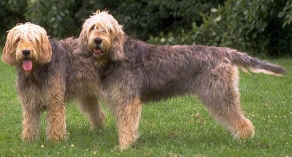 Two Otterhounds