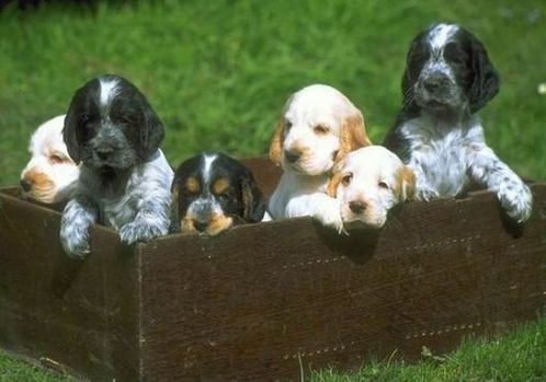 Spaniel puppies in a box