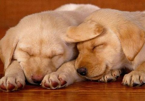 Sleeping Labrador pups