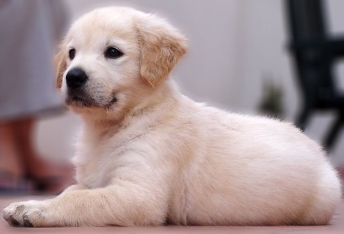Retriever puppy