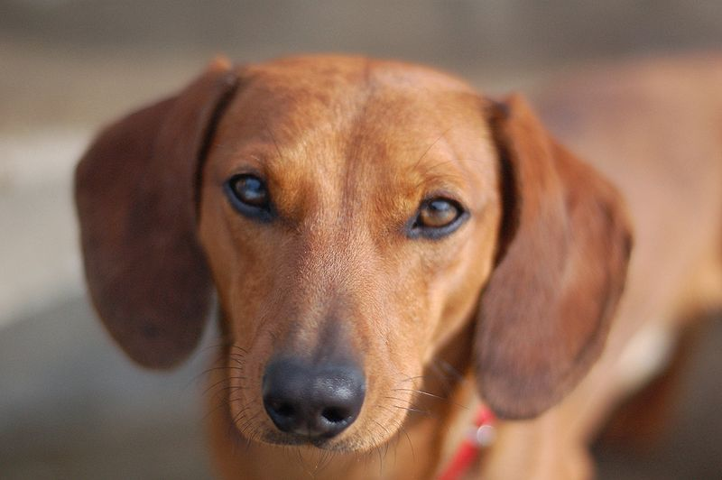 Find A Great Dachshund Name Plus Breed Information.