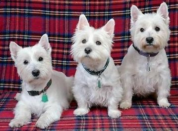 West Highland White's with their Pet ID Tags