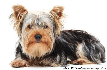 Find A Great Yorkshire Terrier Name + Pics, Meanings & Breed